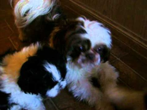 shih tzu puppies birmingham al shih tzu puppies for sale huntsville guntersville birmingham alabama area funnydog tv