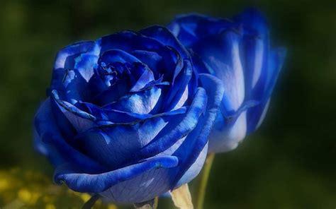 Bunga Mawar Alam Indah kumpulan gambar bunga mawar biru gambar foto wallpaper