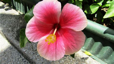 which state has a hibiscus which state has a hibiscus 28 images aloha how to grow