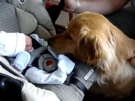 golden retriever kills baby golden retriever meets tiny newborn baby for the time his reaction is priceless