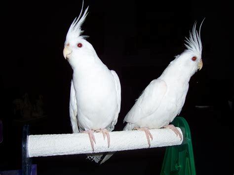 White Sale by White Cockatiel Bird Www Pixshark Images Galleries