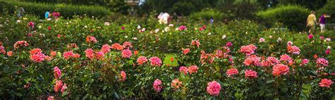 rose gardening lyndale park rose garden