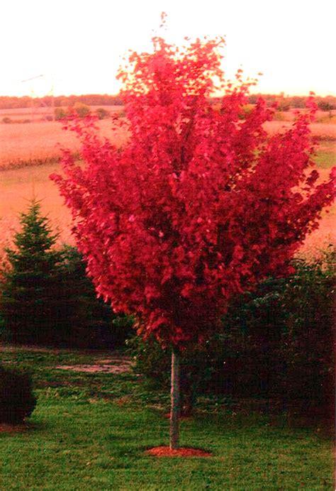 Blue River Nursery by Autumn Blaze Maple Tree Farm Nursery Sale Arbor Hill