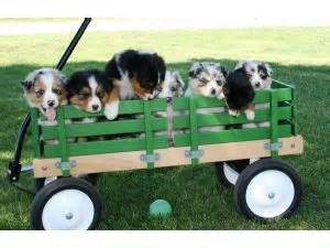 puppies for sale in waterloo iowa australian shepherd puppies in iowa