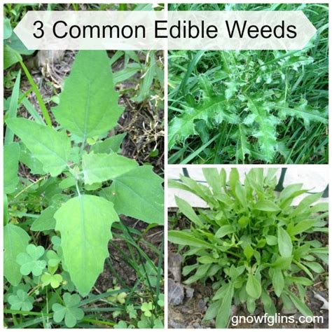 Gettin Ready For Weeds Season 3 by 16 Best Edible Weeds Images On Edible Plants