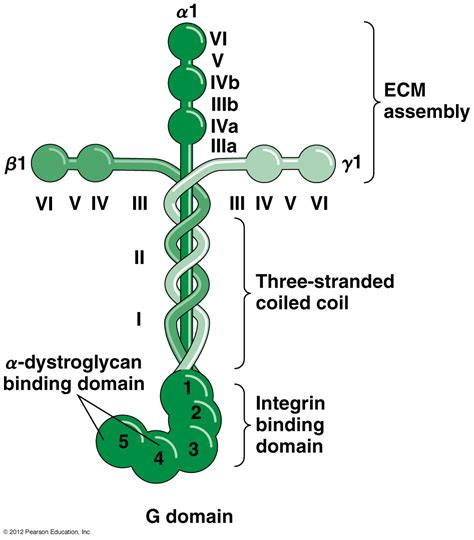 protein laminin receptors laminin laminin receptors
