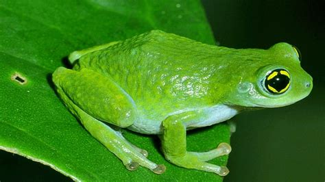 Frog sex pictures