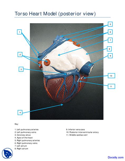 Similiar posterior heart anatomy diagram keywords heart diagram posterior view image collections how to ccuart Choice Image