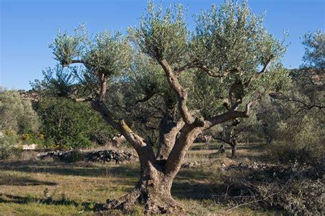 ulivi da giardino potare gli ulivi potatura potatura ulivo