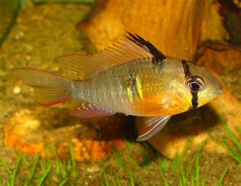 bolvian ram bolivian ram cichlid or