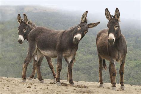 buro animal donde viven los burros que comen como nacen
