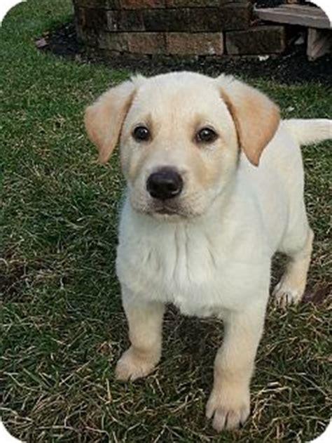 labrador retriever puppies columbus ohio a j adoption pending adopted puppy columbus oh labrador retriever mix