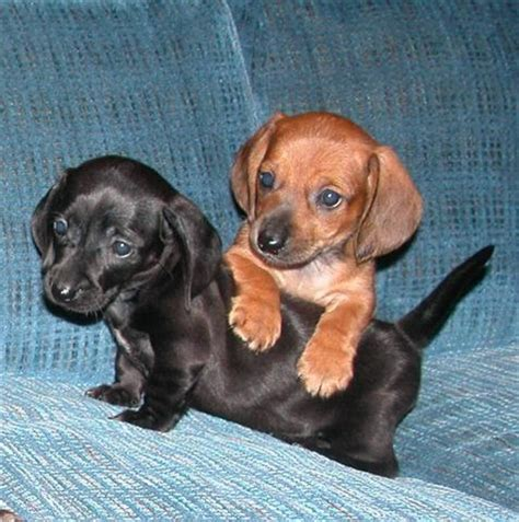 mini dachshund puppies for sale in michigan pin mini dachshund puppies for sale in whitmore lake michigan on