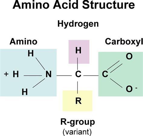 diagram of amino acid amino acids biochemanics