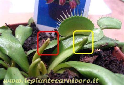 fiore dionea recidere