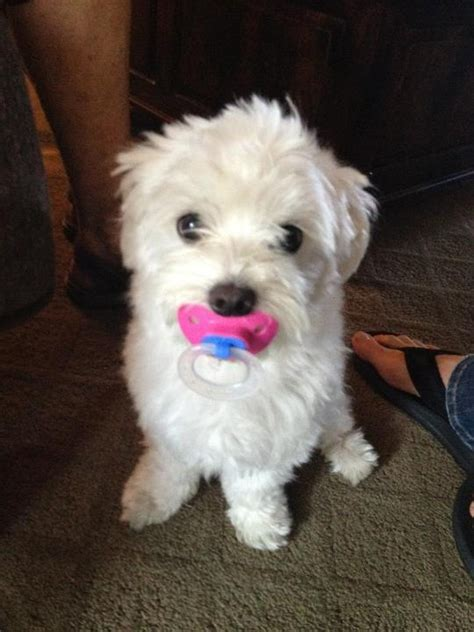 puppy pacifier 15 signs your might actually be your baby iheartdogs