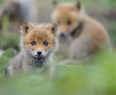 how cute pet foxes steal your heart 20 adorable baby foxes that are here to your blazepress