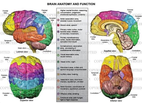 brain anatomy and function medical art works