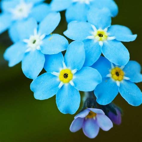 non ti scordar di me fiori non ti scordar di me fiori in giardino coltivare non