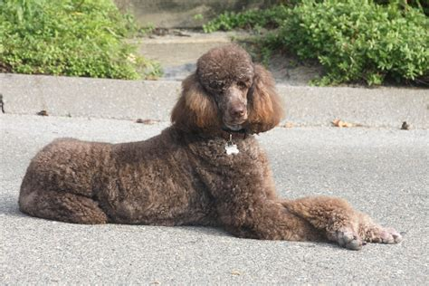 adopt a los angeles standard poodle rescue los angeles ca dogs our friends photo