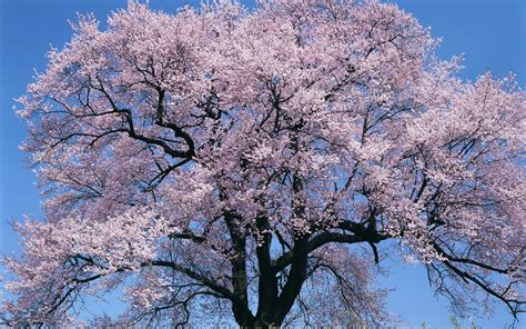 cherry blossom tree japan big cherry blossom tree desktop background hd