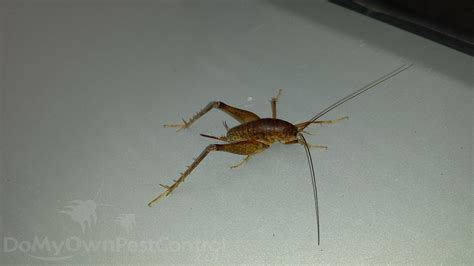 how to get rid of cave crickets in basement home desain 2018