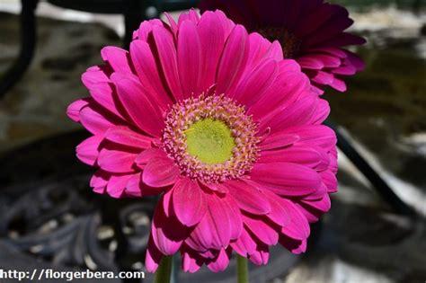 imagenes de gerberas blancas flor gerbera