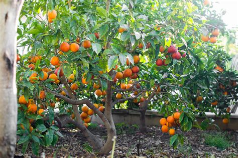 patio orange tree blood orange tree 12 quot pot hello hello plants garden