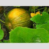 Pumpkins Growing   2592 x 1944 jpeg 1037kB