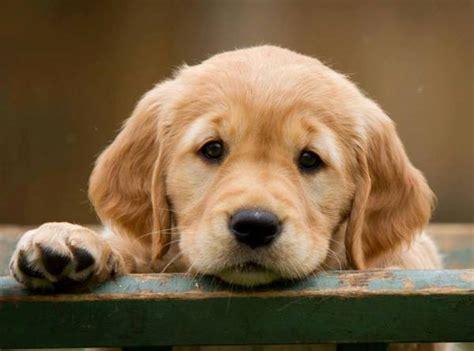 cutest golden retrievers the cutest golden retriever pictures