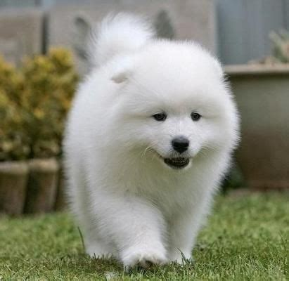 how much are samoyed puppies 280 best images about samoyeds on diabetic samoyed dogs and pets
