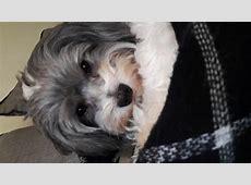 Petit chien lion - Les avis et les photos des internautes ... Ioda