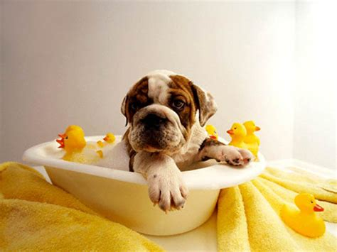 dogs in the bathtub position dog grooming westchester ny
