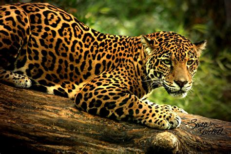 What Do Jaguars Food Chain And Web Jaguars