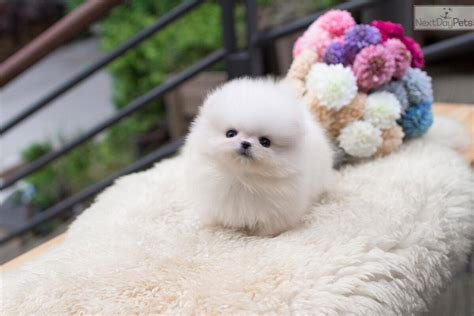 pomeranian breeders montreal pomeranian puppy for sale near montreal 65c72eb1 06e1