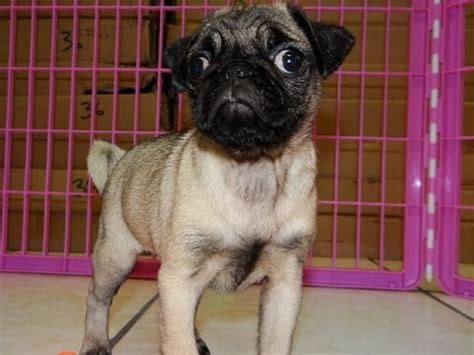 pug in el paso tx not puppyfind craigslist oodle kijiji hoobly ebay marketplace