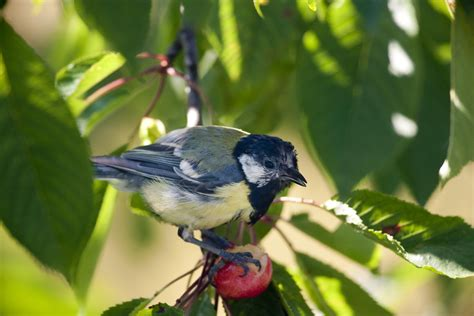 fruit birds preventing birds from your fruits and berries