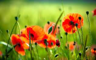 red poppy wallpapers wallpaper cave