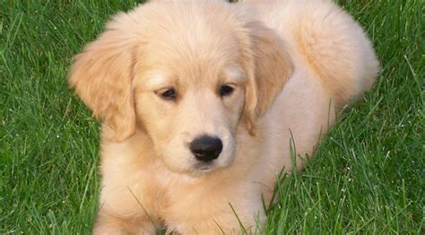 comfort golden retriever comfort retriever miniature golden retriever