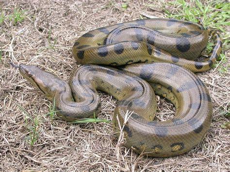 film ular boa bayubarca17