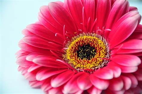 fiore gerbera file gerbera 3668785654 jpg wikimedia commons