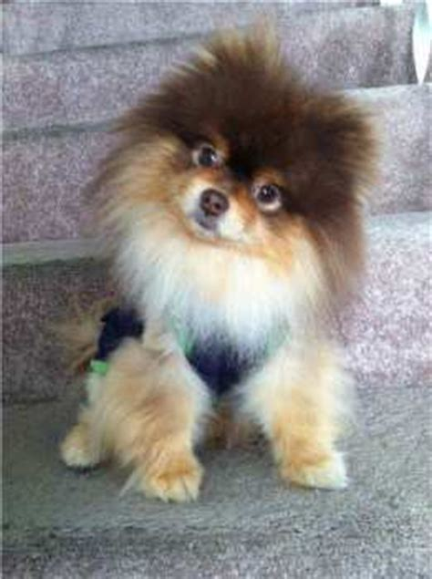 5 pound pomeranian pomeranian size pet pom information center