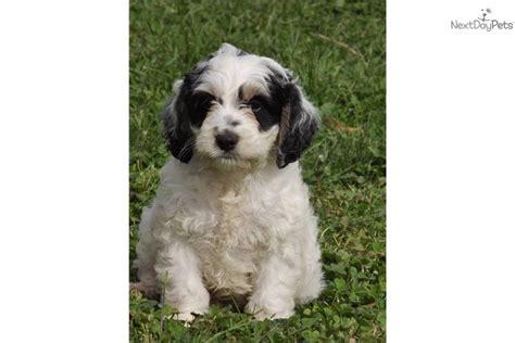 mini aussiedoodle puppies for sale near me mini chex 814 312 5146 aussiedoodle puppy for sale near altoona johnstown