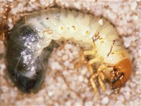 garden pests in the soil identification identifying soil beetle pests agriculture and food