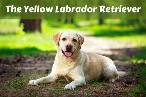 lab puppies indiana yellow labrador retriever facts labrador hq