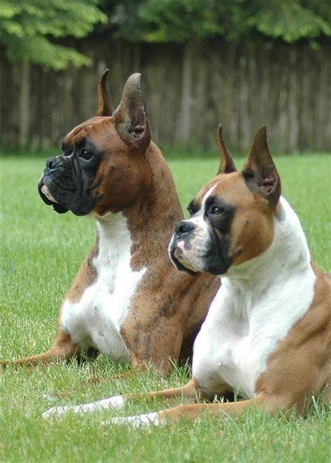 american boxer boxer breed types the three most popular boxer info and health tips