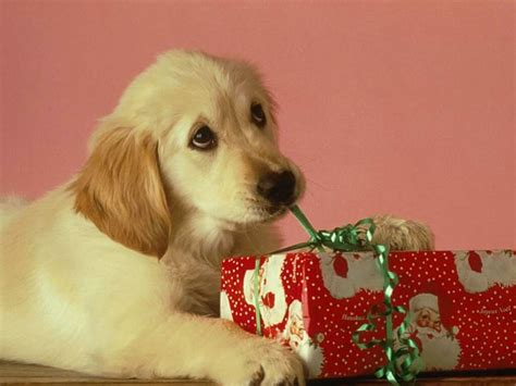 labrador puppy with xmas present christmas animals
