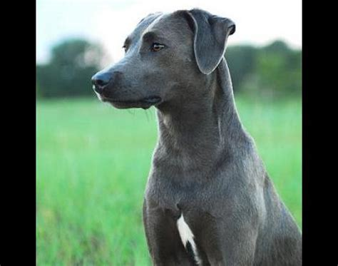 blue lacy puppy picture 3 of 4 blue lacy pictures images animals a z animals