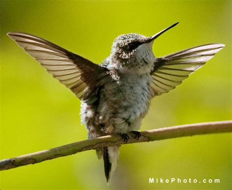 where to photograph hummingbirds at holiday beach