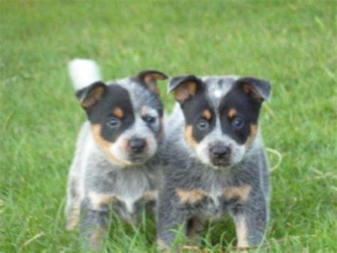 how to an australian cattle puppy redlineblue australian cattle dogs